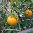 野生の柑橘類