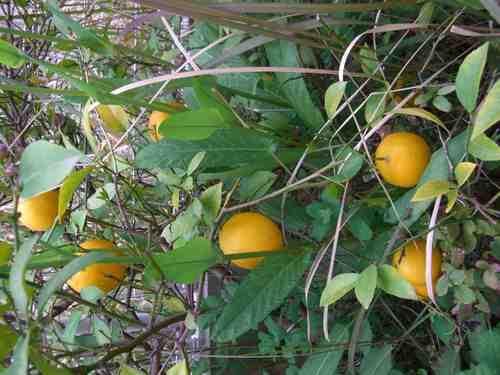 野生のレモン