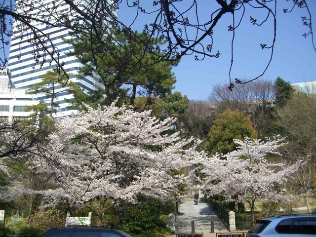 紀尾井町の桜